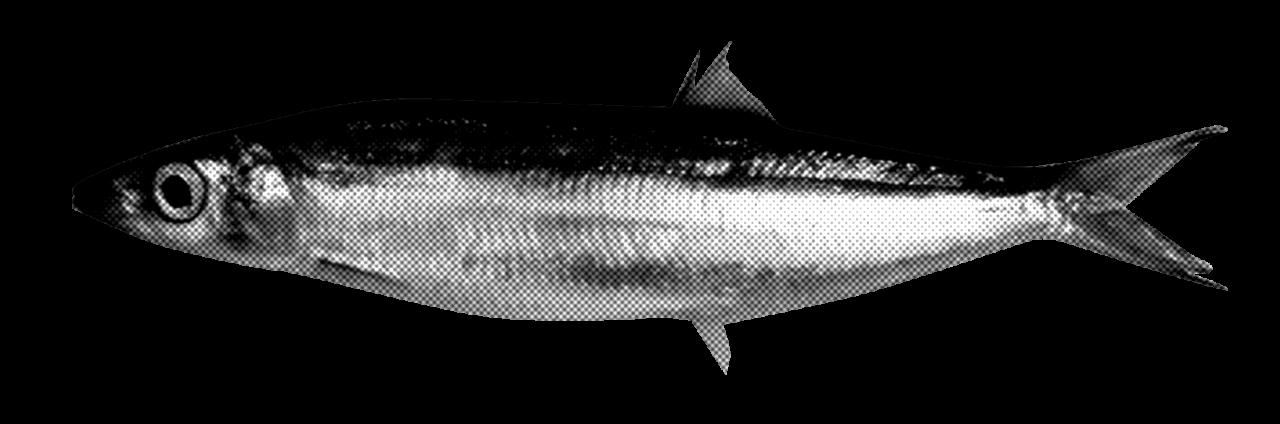 sardina-2